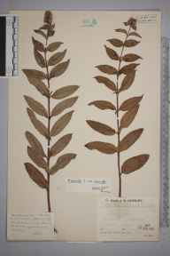 Mentha aquatica x spicata = M. x piperita herbarium specimen from Whixall, VC40 Shropshire in 1936 by Mr Job Edward Lousley.