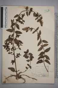Mentha aquatica x spicata = M. x piperita herbarium specimen from Chelsfield, VC16 West Kent in 1904 by William Henry Griffin.