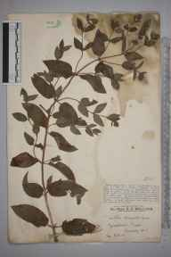 Mentha aquatica x spicata = M. x piperita herbarium specimen from Gomshall Marsh, VC17 Surrey in 1928 by Mr Edward Charles Wallace.