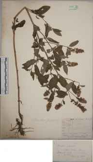 Mentha aquatica x spicata = M. x piperita herbarium specimen from Tredington Mill, VC33 East Gloucestershire in 1880 by Mr Frederick Townsend.