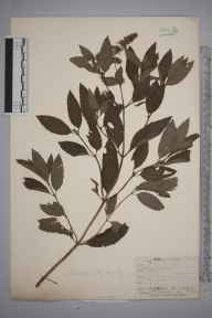 Mentha aquatica x spicata = M. x piperita herbarium specimen from Malvern, VC37 Worcestershire in 1842 by Mr Frederick Townsend.