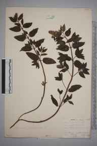 Mentha aquatica x spicata = M. x piperita herbarium specimen from Chelsfield, VC16 West Kent in 1903 by William Henry Griffin.