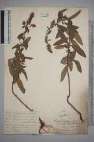 Mentha aquatica x spicata = M. x piperita herbarium specimen from Holmwood, VC17 Surrey in 1884 by Mr William Hadden Beeby.