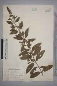 Mentha aquatica x spicata = M. x piperita herbarium specimen from East Harptree, VC6 North Somerset in 1938 by Mr Arthur Langford Still.