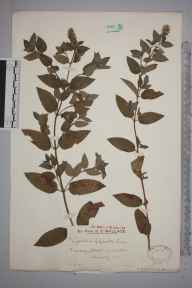 Mentha aquatica x spicata = M. x piperita herbarium specimen from Wotton, VC17 Surrey in 1920 by Mr Edward Charles Wallace.