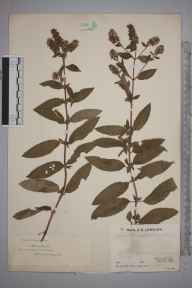 Mentha aquatica x spicata = M. x piperita herbarium specimen from Oxted, VC17 Surrey in 1933 by Mr Job Edward Lousley.
