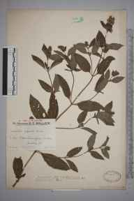 Mentha aquatica x spicata = M. x piperita herbarium specimen from Oxted, VC17 Surrey in 1932 by Mr Edward Charles Wallace.