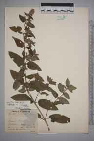 Mentha aquatica x spicata = M. x piperita herbarium specimen from Blakedown, VC37 Worcestershire in 1937 by Mr Job Edward Lousley.