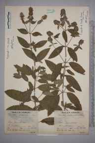 Mentha aquatica x spicata = M. x piperita herbarium specimen from Danehill, VC14 East Sussex in 1937 by Mr Job Edward Lousley.
