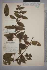 Mentha aquatica x spicata = M. x piperita herbarium specimen from Cubert, VC1 West Cornwall in 1936 by Mr Job Edward Lousley.