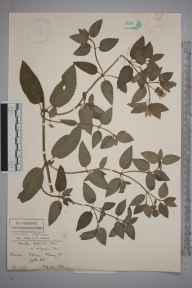 Mentha aquatica x spicata = M. x piperita herbarium specimen from Leith Hill, VC17 Surrey in 1899 by Mr Charles Edgar Salmon.