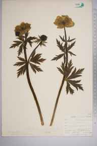 Trollius europaeus herbarium specimen from Yelverton, VC3 South Devon in 1902 by Mr Allan Octavian Hume.