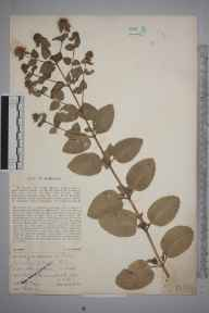 Mentha aquatica x spicata = M. x piperita herbarium specimen from Northaw, VC20 Hertfordshire in 1913 by Mr Spencer Henry Bickham.