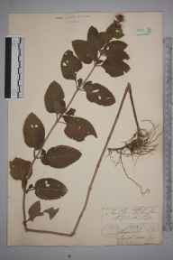 Mentha aquatica x spicata = M. x piperita herbarium specimen from Shanklin, VC10 Isle of Wight in 1838.