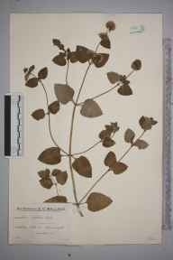 Mentha aquatica x spicata = M. x piperita herbarium specimen from Chiddingfold, VC17 Surrey in 1933 by Mr Edward Charles Wallace.
