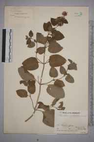 Mentha aquatica x spicata = M. x piperita herbarium specimen from Chiddingfold, VC17 Surrey in 1933 by Mr Job Edward Lousley.