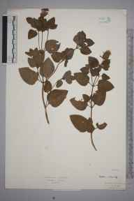 Mentha aquatica x spicata = M. x piperita herbarium specimen from Chiddingfold, VC17 Surrey in 1930 by Rev Rowland John Burdon.