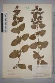 Mentha aquatica x spicata = M. x piperita herbarium specimen from Chiddingfold, VC17 Surrey in 1934 by J Fraser.