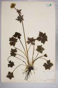 Trollius europaeus herbarium specimen from Wynch Bridge, VC66 County Durham in 1903 by Mr Allan Octavian Hume.