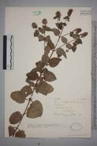 Mentha citrata herbarium specimen from Ledbury, VC36 Herefordshire in 1931 by Mr Spencer Henry Bickham.