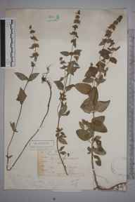 Mentha arvensis x aquatica x spicata = M. x smithiana herbarium specimen from Alfold, VC17 Surrey in 1884 by S A.