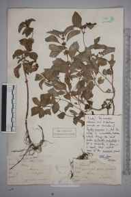 Mentha arvensis x aquatica x spicata = M. x smithiana herbarium specimen from Woking, VC17 Surrey in 1883 by S A.