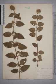 Mentha aquatica herbarium specimen from Seaton, VC2 East Cornwall in 1900 by Mr Allan Octavian Hume.