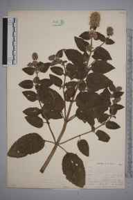 Mentha aquatica herbarium specimen from East Looe, VC2 East Cornwall in 1900 by Mr Allan Octavian Hume.