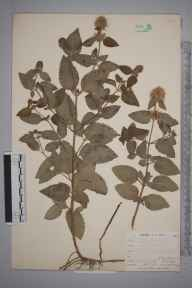 Mentha aquatica herbarium specimen from Sandplace, VC2 East Cornwall in 1900 by Mr Allan Octavian Hume.
