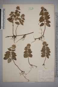 Mentha aquatica herbarium specimen from Catford, VC16 West Kent in 1901 by William Henry Griffin.