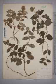 Mentha aquatica herbarium specimen from Shortlands, VC16 West Kent in 1898 by Mr Allan Octavian Hume.