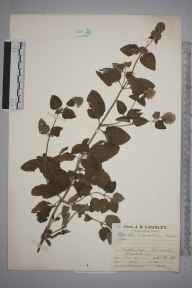 Mentha aquatica herbarium specimen from Finchley,Totteridge, VC21 Middlesex in 1928 by Mr Job Edward Lousley.