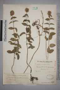 Mentha aquatica herbarium specimen from Four Wents Pond, VC17 Surrey in 1925 by Mr Edward Charles Wallace.