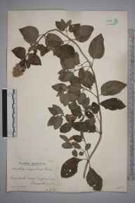 Mentha aquatica herbarium specimen from Eaglesham, VC77 Lanarkshire in 1938 by Mr Robert MacKechnie.