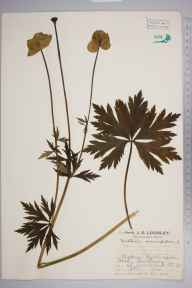 Trollius europaeus herbarium specimen from Teesdale,Langdon Beck, VC66 County Durham in 1927 by Mr Job Edward Lousley.