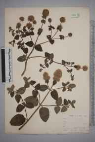 Mentha aquatica herbarium specimen from Loe Pool, VC1 West Cornwall in 1899 by Mr Allan Octavian Hume.