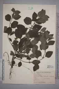 Mentha aquatica herbarium specimen from Cothill, VC22 Berkshire in 1944 by William Bertram Turrill.