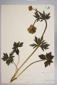 Trollius europaeus herbarium specimen from Teesdale,Langdon Beck, VC66 County Durham in 1903 by Mr Allan Octavian Hume.