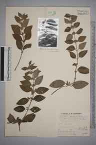 Mentha aquatica herbarium specimen from Llanrhystyd, VC46 Cardiganshire in 1935 by Mr Job Edward Lousley.