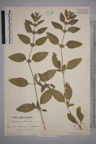 Mentha aquatica herbarium specimen from Nettlestead, VC16 West Kent in 1935 by Mr Edward Charles Wallace.