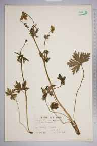 Trollius europaeus herbarium specimen from Cronkley, VC65 North-west Yorkshire in 1914 by Mr Patrick Martin Hall.