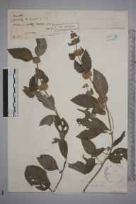 Mentha aquatica herbarium specimen from Witley, VC17 Surrey in 1889 by Rev. Edward Shearburn Marshall.