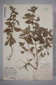 Mentha aquatica herbarium specimen from Alfold, VC17 Surrey in 1884 by Mr Arthur Bennett.