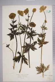 Trollius europaeus herbarium specimen from Killin, VC88 Mid Perthshire in 1927 by Mr Isaac A Helsby.