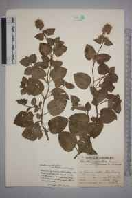 Mentha aquatica herbarium specimen from Molesey, VC17 Surrey in 1929 by Mr Job Edward Lousley.