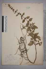 Mentha aquatica herbarium specimen from Brookwood, VC17 Surrey in 1884 by Mr Arthur Bennett.