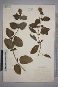 Mentha aquatica herbarium specimen from Godstone, VC16 West Kent in 1931 by S A Chambers.