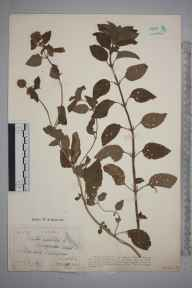 Mentha aquatica herbarium specimen from Surlingham Broad, VC27 East Norfolk in 1914 by Dr F Long.