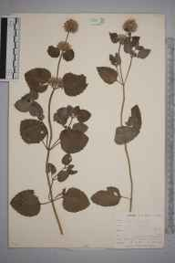 Mentha aquatica herbarium specimen from West Looe, VC2 East Cornwall in 1900 by Mr Allan Octavian Hume.
