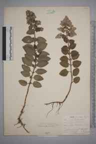 Mentha aquatica herbarium specimen from Hayle, Carwin Moor, VC1 West Cornwall in 1901 by Mr Allan Octavian Hume.